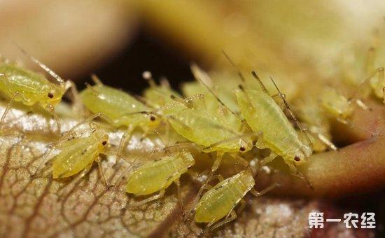芝麻虫害有哪些?芝麻主要虫害的防治方法