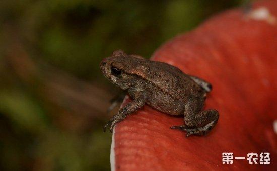 林蛙胃肠炎怎么防治?林蛙胃肠炎的病症与防治