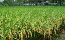 水稻种植怎么施肥?水稻的施肥时间和方法