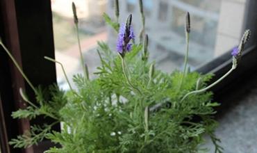 盆栽薰衣草怎么养?盆栽薰衣草的繁殖要点和养殖方法