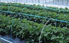 草莓种苗怎么培育?草莓的种苗培育技术