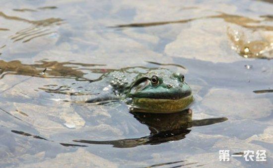 牛蛙怎么养才好?牛蛙的网箱养殖技术
