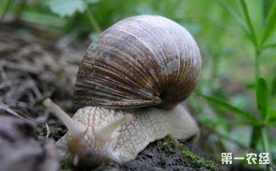 如何养殖白玉蜗牛?白玉蜗牛的大田养殖技术