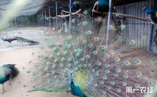 蓝孔雀怎么养才好?蓝孔雀的养殖管理要点