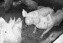 春季猪场怎么有效猪驱虫?春季猪场驱虫注意事项