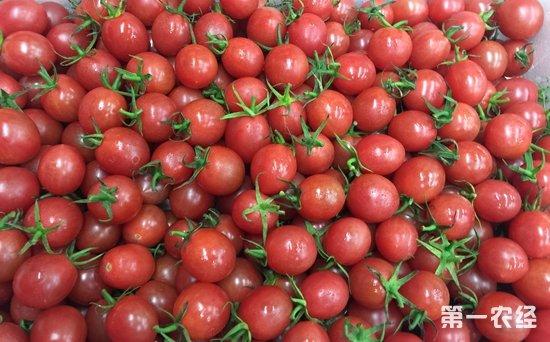 江苏扬州春季水果集中上市 千禧樱桃小番茄占榜首