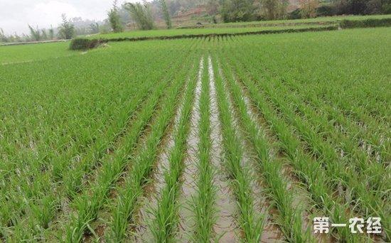 2018年湖北调减低产低效水稻面积100万亩