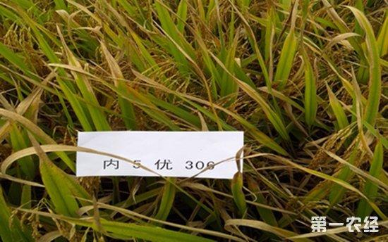 四川自贡市富顺县开展水稻抗病试验