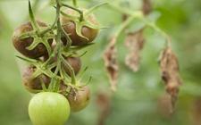 番茄疫病怎么防治?番茄疫病的病症与防治