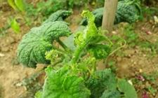 侵咬黄瓜的害虫有哪些?黄瓜常见虫害的防治方法
