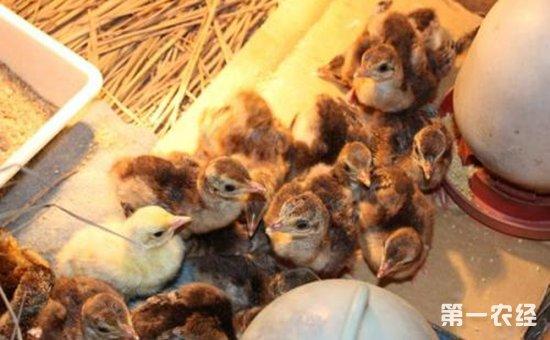 孔雀弯曲杆菌病怎么防治?孔雀弯曲杆菌病的病症与防治