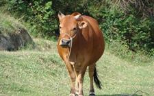 牛农药中毒怎么办?牛农药中毒的预防和治疗