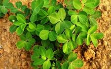 花生种植怎么追肥?花生的追肥时间和方法