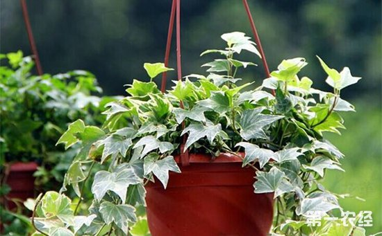 常春藤怎么养才好?常春藤的繁殖要点和养殖方法