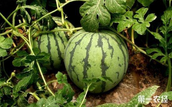 西瓜种植该怎么管理?西瓜种植的田间管理要点