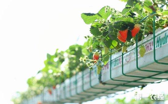 草莓种植怎么进行无土栽培?草莓的无土栽培技术大全