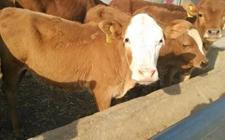 黄牛养殖该如何提高繁殖力?提高黄牛繁殖力的方法要点