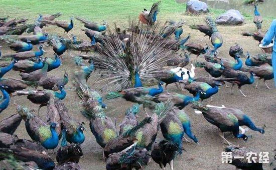 孔雀养殖怎么管理?孔雀的养殖条件和管理要点