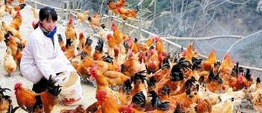 巾帼不让须眉女汉子辞职进山养鸡目标两年后销售千万只鸡