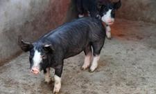 <b>常见猪的品种有哪些?常见猪品种介绍</b>