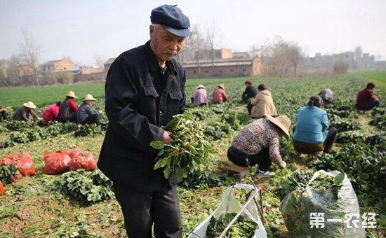 火锅店老板热心市民伸出援手  万余斤滞销菠菜一扫而空