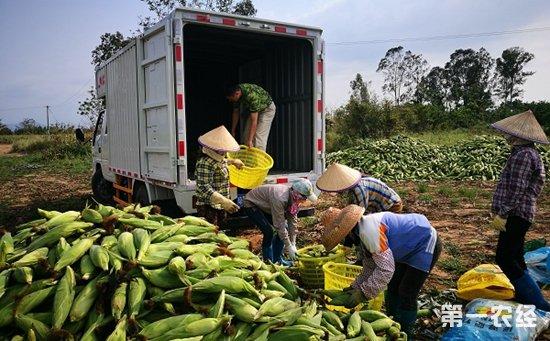 呀诺达爱心认购5000斤甜玉米    滞销问题缓解种植农户笑逐颜开