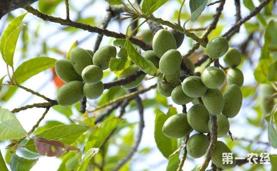 橄榄果多少钱一斤?橄榄果怎么吃?