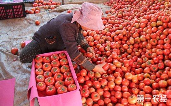 一元一斤!10多万斤有机西红柿滞销无人问津愁坏农户