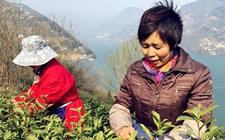 长阳10万亩茶园助推脱贫攻坚:清江河畔茶飘香