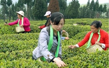 四川省平昌县:努力抓好春季茶叶生产!