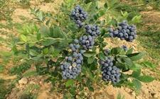 四川旺苍县天星村:种植蓝莓投资少见效快