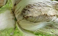 白菜染上病害怎么办?白菜常见病害的防治方法