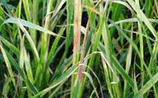 我国研究员揭示水稻条纹病毒解除寄主植物防御机理