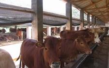 <b>牛前胃弛缓该如何防治?牛前胃弛缓的中西医疗法</b>