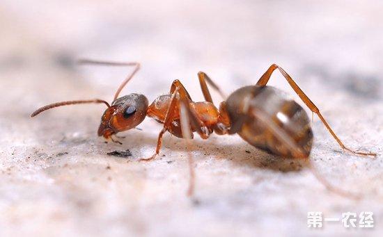 中华蜜蜂敌害有哪些?中蜂主要敌害的防治方法介绍