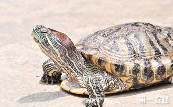 巴西龟染上疾病怎么办?巴西龟常见疾病的防治方法