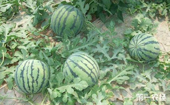 """西瓜种植怎么施肥才好?西瓜施肥的需肥特点与""""五增六忌"""""""