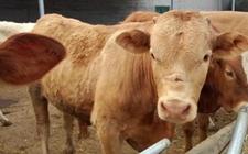 鲁西黄牛养殖怎么管理?鲁西黄牛牛犊期的饲养管理要点