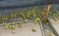青蛙怎么养才好?青蛙的养殖技术大全