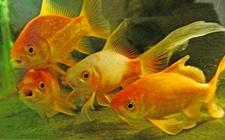 草金鱼吃什么食物?草金鱼养殖常见的饲料选择