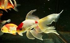 草金鱼养殖怎么管理?草金鱼养殖的四季管理要点