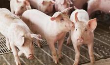 养猪场驱虫效果不好怎么办?如何提高养猪场猪群的驱虫效果?