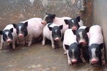 养香猪赚钱吗?香猪效与作用及食用方法