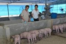 散养户一头猪能挣多少钱?