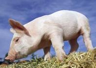 猪有什么生活习性和行为特点?猪的生活习性和行为特点介绍