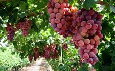 <b>秘鲁:沿海厄尔尼诺现象造成食用葡萄产量下降出口量减少</b>