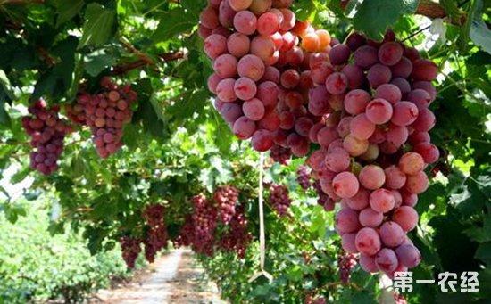 秘鲁:沿海厄尔尼诺现象造成食用葡萄产量下降出口量减少