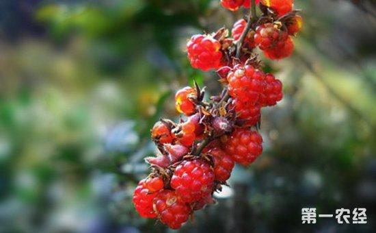 山莓价格多少钱一斤?