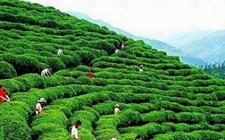 江西:讲好茶叶故事 壮大赣茶产业