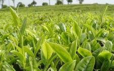 普洱茶生态茶与古树茶的有哪些区别?